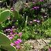 Essbare Mittagsblume (Carpobrotus edulis), Pferdefeige, Hottentottenfeige oder Hexenfinger genannt. Es gibt sie in leuchtend magentarosa oder blass gelb. Die Früchte, die einer Feige leicht ähnlich sehen, haben ein geleeartiges, süßsaures Fruchtfleisch und sind essbar (Marmelade). Ursprünglich stammt sie aus Südafrika.<br /><br />Carpobrotus edulis è una pianta succulenta appartenente alla famiglia delle Aizoaceae, originaria del Sudafrica. Si la vede in magenta-rosa e giallo pallido. I suoi frutti, un pò simili ad un fico, hanno la polpa gelatinesca con sapore agrodolce e sono commestibili (marmellata).