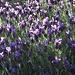 Überall der wunderschöne Lavendel mit seinem Duft / Ovunque la bella lavanda con il suo bel profumo