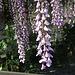 In den Gärten blüht es / i giardini in fiore<br />Vielleicht ein Japanischer Blauregen (Wisteria Floribunda, Wisteria Brachybotrys)