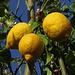 Il limone ha i frutti e i fiori insieme allo stesso tempo, un miracolo per me! / Der Zitronenbaum hat Früchte und Blüten gleichzeitig. Für mich ein Wunder!