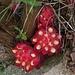 Ein Schmarotzer, aber so schön: der Rote Zistrosenwürger (Cytinus ruber), Ipocisto rosso / bella parassita