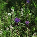 Schopfige Traubenhyazinthe (Muscari comosum)<br />Die ganze Macchia ist jetzt ein riesiger Garten voller Blumen / Tutta la macchia adesso è un grande giardino in fiore