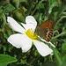 Coenonympha elbana, Elba-Wiesenvögelchen