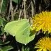 Zitronenfalter (Gonepteryx rhamni)<br />Gewöhnlicher Löwenzahn (Taraxacum officinale)