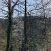 Eine Vogelkirsche (Prunus avium) leuchtet zwischen all den anderen, teils noch kahlen Bäumen heraus.