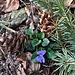 Wald-Veilchen (Viola reichenbachiana Jord. ex Boreau)