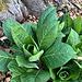 Bin mir auch net sicher: vielleicht Tollkirsche (Atropa belladonna L.  Belladonna)