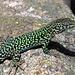 """Bei den Eidechsen sind wieder mal die Männchen """"schöner"""", auf jeden Fall bunter:-)? / Dalle lucertole i maschi sono """"più belli"""", vuol dire piu colorati:-)?<br />Lucertola campestre, Ruineneidechse (Podarcis siculus)<br />"""