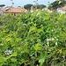 Blaue Passionsblume, Passiflora caerulea<br />Bei uns zieht man mühsam ein Pflänzchen davon hoch und freut sich über jede Blüte. Hier wächst die Passionsblume wie Unkraut!<br />Da noi si alleva faticosamente una piccola pianta ed è felice di ogni fioritura. Qui il fiore della passiflora cresce come erbacce!