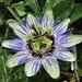 Blaue Passionsblume, Passiflora caerulea