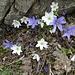 Leberblümchen blau und weiss