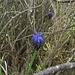 Weinbergs-Traubenhyazinthe, Muscari neglectum