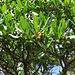 Arbutus unedum, Westlicher Erdbeerbaum mit noch unreifen Früchten /<br />I frutti non sono ancora maturiti