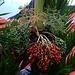 Früchte der Königspalme (Roystonea regia), einer in der Karibik heimischen Palmenart die inzwischen in tropischen und subtropischen Gebieten eine weit verbreitete Zierpflanze ist.