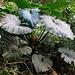 Während der ganzen Wanderung sah ich überall die Pflanze mit dem lustigen Namen Elfantenohren (Philodendron giganteum) und ihren riesigen, dunkelgrünen Blättern. Bei Regen könnte man so ein Blatt glatt als nützlicher Regenschirm verwenden.