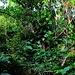 Im Aufstieg knapp oberhalb Windwardside durchwandert man einen Urwald wie man ihn vorstellt. Es ist unglaublich wie hier die Natur dank immer gleicher Wärme und üppigem Niederschlag wächst!
