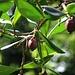 Halbreife Früchte von Balsamapfel (Clusia rosea), einem einheimischen Baum des Karibikraumes. Die Früchte sind allerdings ungeniessber. Wird die Rinde verletzt, tritt ein Milchsaft auf der früher zum Abdichten von Booten verwendet wurde.