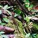 Saba-Eidechse, auch Pantheranolis (Anolis sabanus) genannt. Die Art ist auf Saba endemisch, kommt aber auf der Insel häufig vor. Im Abstieg über den Bud's Mountain Trail sah ich etliche Exemplare der kleinen Eidechsenart.