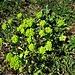 Euphorbia helioscopia L.<br />Euphorbiaceae<br /><br />Euforbia calenzuola, Erba verdona<br />Euphorbe réveille-matin<br />Sonnenwend-Wolfsmilch