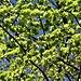 Ulmus minor L.<br />Ulmaceae<br /><br />Olmo minore<br />Ormeau, Orme champetre<br />Feld-Ulme, Rot-Rüster