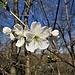 Prunus avium L. <br />Rosaceae<br /><br />Ciliegio selvatico<br />Merisier, Cerisier sauvage<br />Süsskirsche,Vogelkirsche