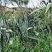 Agaven und Tauber Hafer (Avena sterilis)