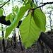 Tenere foglie di faggio