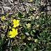 Potentilla verna L.<br />Rosaceae<br /><br />Cinquefoglie primaticcia<br />Potentille du printemps<br />Frühlings-Fingerkraut