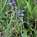 Ajuga reptans L.<br />Lamiaceae<br /><br />Iva comune, Bugula<br />Bugle rampant<br />Kriechender Günsel
