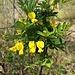 Hippocrepis emerus (L.) Lassen<br />Fabaceae<br /><br />Erba cornetta, Dondolino<br />Hippocrébide buissonante, Coronille émérus<br />Strauchwicke