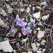 Viola odorata L.<br />Violaceae<br /><br />Viola mammola<br />Violette odorante<br />Wohlrienchendes Velichen