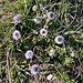 Globularia cordifolia L.<br />Plantaginaceae<br /><br />Vedovelle celesti<br />Globulaires à feuilles en coeur<br />Herzblättrige Kugelblume