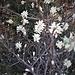 Amelanchier ovalis Medik.<br />Rosaceae<br /><br />Pero corvino<br />Amélanchier<br />Felsenmispel, Felsenbirne<br />