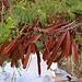 Schotenfrüchte der Weisskopfmimose (Leucaena leucocephala). Die Art stammt ursprünglich aus Mexiko und Mittelamerika, ist inzwischen jedoch auf nahezu allen frostfreien, nicht allzu trockenen Gebiete der Erde verbreitet.