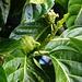 Unreife Früchte vom Nonibaum (Morinda citrifolia). Der Geschmack und Geruch der reifen Früchte ist ähnlich dem von Gorgonzolakäse mit leichter Schärfe. Die Art stammt ursprünglich aus Australien.