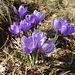 Mal ein Grüppchen violetter Krokusse