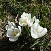 Die Krokusse öffnen ihre Blüten im Sonnenlicht