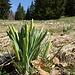 Ein Büschel Osterglocken mit noch geschlossenen Blüten