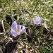Weiss-violette Krokusse sind hier eher selten