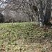 Das Gelände westlich des Gipfels ist sehr abwechslungsreich: knorrige Bäume und Osterglockenwiesen
