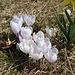 Weisse Krokusse dicht an dicht neben einer Osterglocke