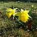 Grosse Blüten auf kurzen Stielen, die ersten Osterglocken läuten unsere Blumenwanderung ein