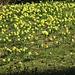 Blüte an Blüte, dazwischen noch viele, die erst später blühen werden
