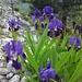 Blumen beim Rif. Alleluia