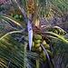 Kokosnusspalme (Cocos nucifera) im Garten des Hotels in Conaree Village.