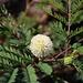 Blüte der Weisskopfmimose (Leucaena leucocephala).