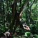 Ein kurioser Urwaldbaum.