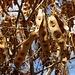 Fruchtschoten vom Regenbaum (Albizia lebbeck) oberhalb Saddlers. Der Baum stammt unrsprünglich aus Südostasien und Nordaustralien.