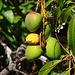 Mangofrüchte (Mangifera indica) im Garten vom Hotel.
