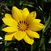 Gazania linearis (Striped Treasure flower)